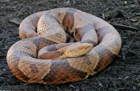 nch_page_copperhead02